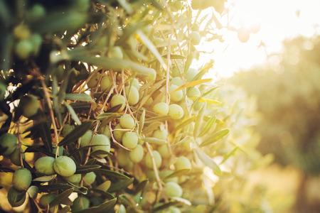 秋にオリーブの木のオリーブ。季節の自然のイメージ