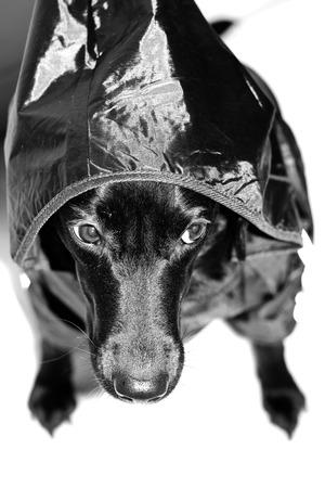 Black dog with black oilskin photo