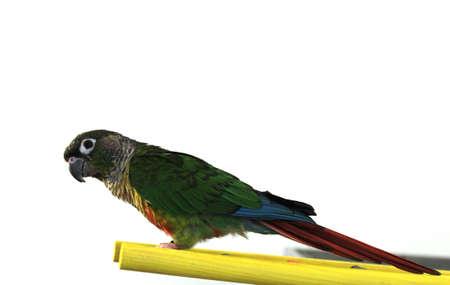 Green cheek conure Фото со стока