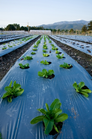 vegetable plots in Chiangmai Thailand photo