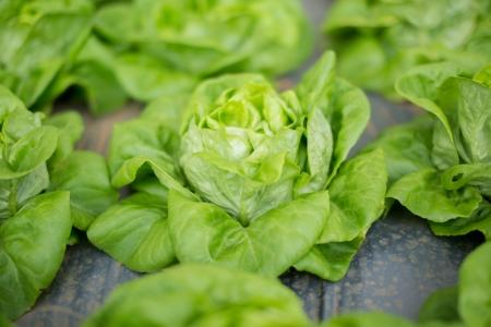 fresh raw salad in Chiangmail Thailand  photo