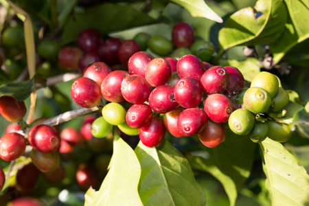 Coffee beans on trees photo