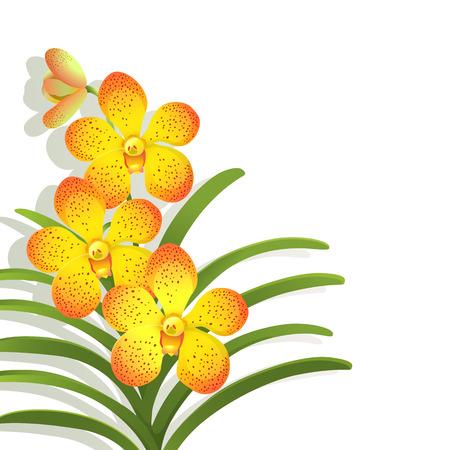 vanda: Yellow Vanda orchid on white background Illustration