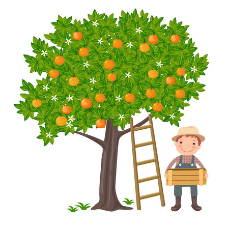 A vector illustration of a cute boy picking oranges from the tree