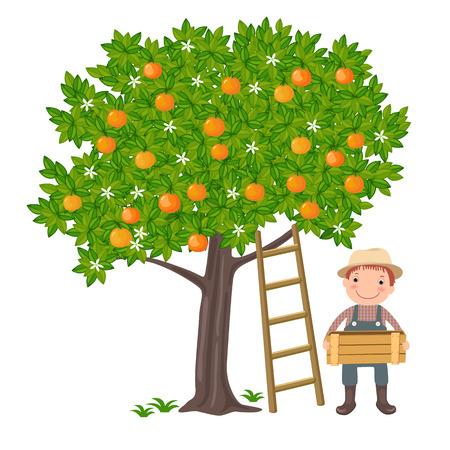 albero da frutto: Una illustrazione vettoriale di un ragazzo carino raccogliendo arance dall'albero