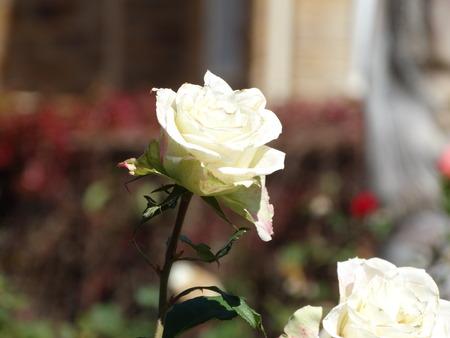 at white: White Rose