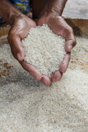winnowing: winnowing basket with rice, rice seeds in hands Stock Photo