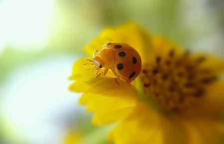 eye: Ladybug walking on yellow flower