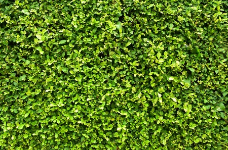 green wall: green wall leaves texture