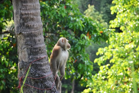 monkeys  waiting to pick coconuts on trees Southern Thailand
