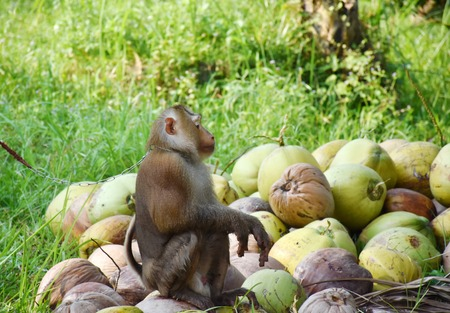 flank: Flank of Monkey Sitting on the coconut Stock Photo
