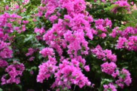 color bougainvillea: Blur Bougainvillea paper flower in colorful color for background Stock Photo