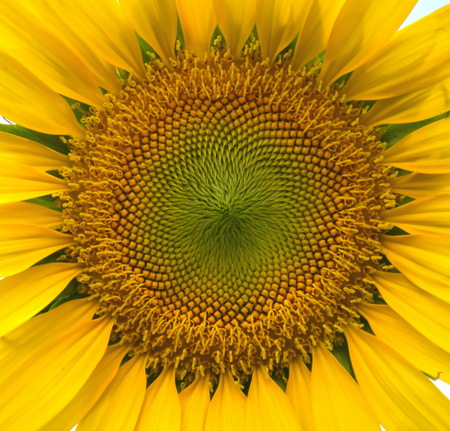 pollens: beautiful pollens of sunflower