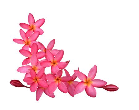 tahitian: frangipani (plumeria) flowers on white background Stock Photo