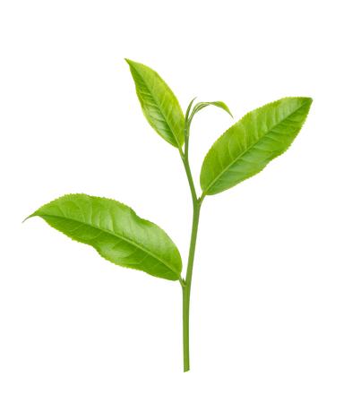 Groene thee blad geïsoleerd op wit Stockfoto - 90529770