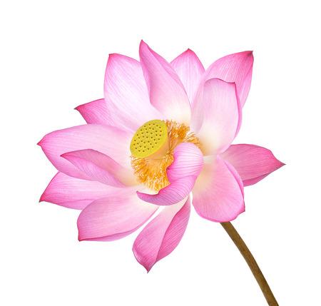 Lotus-bloem op witte achtergrond. Stockfoto - 90529594