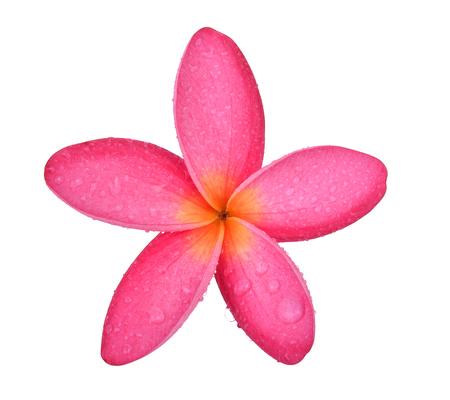 Frangipani bloem geïsoleerd op een witte achtergrond Stockfoto - 90529598
