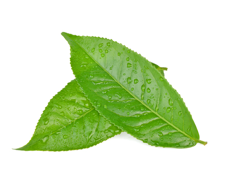 leaves Fresh green tea with drops of water isolated on white background.