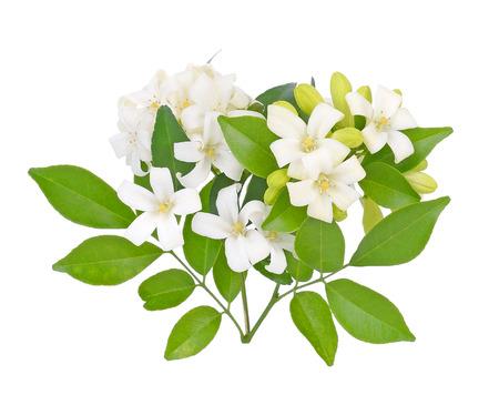 Andaman satinwood isolated on white background Stockfoto - 101926283