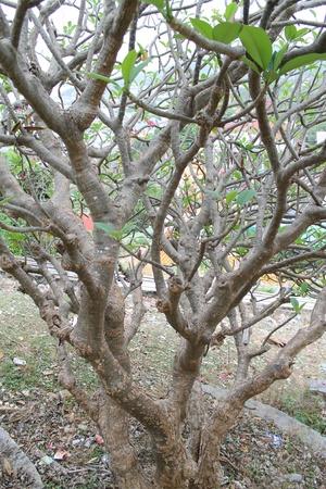 Lan Thom or Leelavadee Flowers,Frangipani trees. photo
