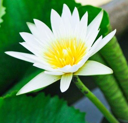 The lotus flower in the peaceful pond  photo