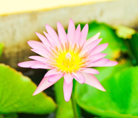 Beautiful pink lotus flower   photo