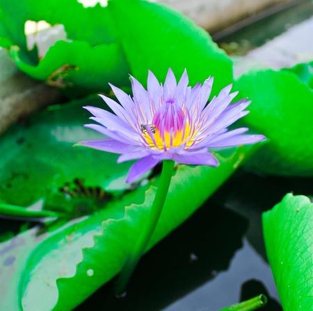 Purple Lotus in pool Stock Photo
