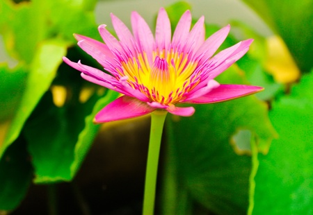 a pink lotus flower growing upright