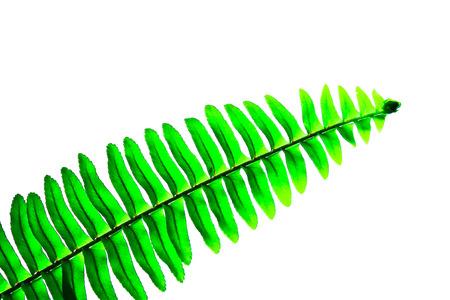 Green fern leaf isolated on white