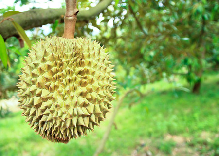 Durian trees in the garden of Rayong, Thailand