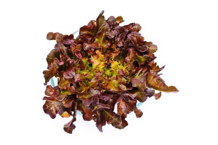 fresh green and red oak lettuce