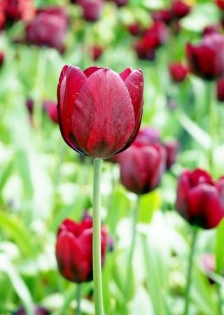 Tulip in the Garden