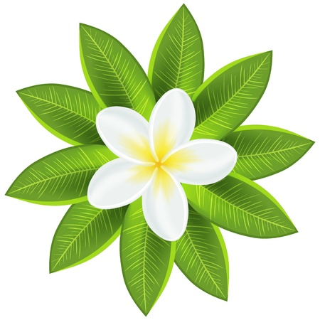 Beautiful white tropical flower illustration for your fresh romantic design  Frangipani plumeria with leaves isolated on white  Vector