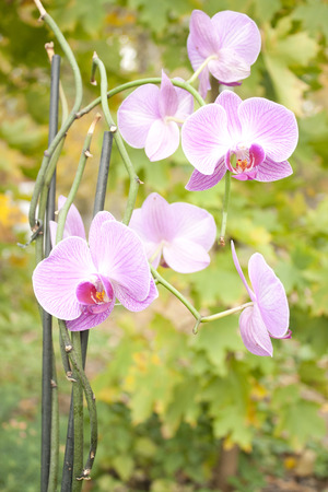 Image of beautiful purple orchid - phalaenopsis on green background. photo