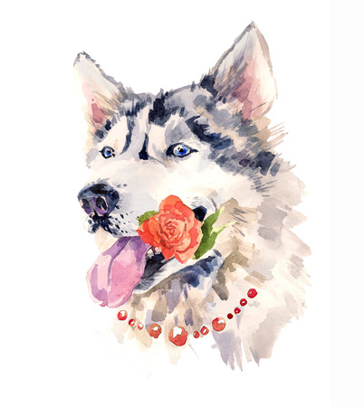 coquettish: Fashionable coquettish siberian dog with a rose in the mouth.