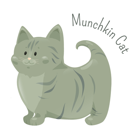 mutation: Munchkin cat isolated on white background. Very short legs type, caused by naturally occurring genetic mutation. Furry mammal. Part of series of cute cartoon kitten. Child fun icon Vector illustration
