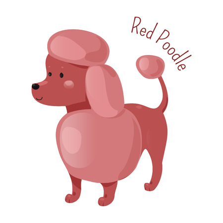 miniature breed: Red poodle isolated. Four sizes of breed standard, medium, miniature, toy. Active, intelligent and elegant dog, squarely built. Part of series of cartoon puppy species. Child fun pattern icon. Vector