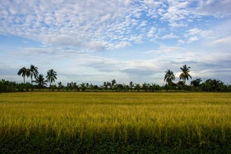 padi: Yellow Padi Field is producing grains