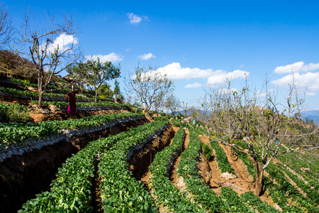 strawberry field at Chiangmai : Thailand photo