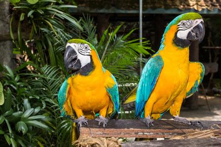 guacamaya: Azul y oro guacamayo Foto de archivo