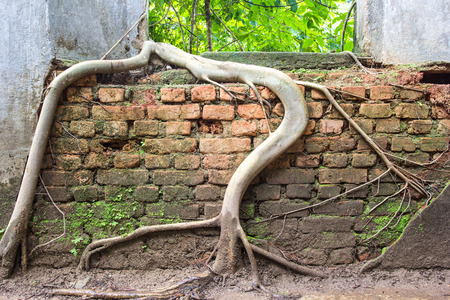 overwhelm: Tree roots overwhelm ancient temple walls, Sangkhlaburi, Kanjanaburi, Thailand