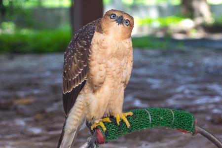 falco: beautiful female Common Kestrel (Falco tinnunculus)