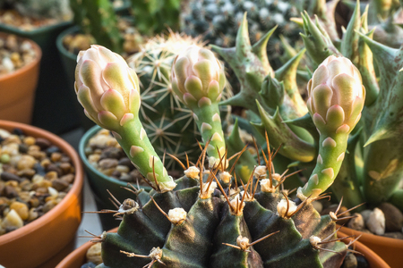 Gymnocalycium cactus with flower buds.