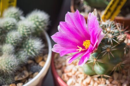 Mammillaria schumannii with pink flower