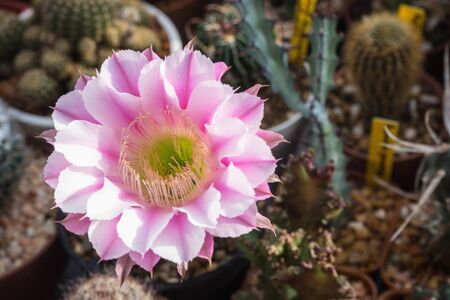 "Blooming flower of Echinopsis cv. Galaxy named ""Echinosis pink lady angle"""