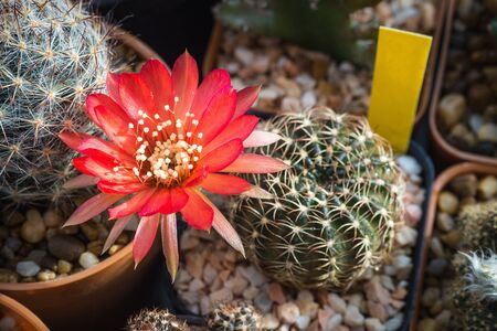 Blooming red flower of lobivia cactus
