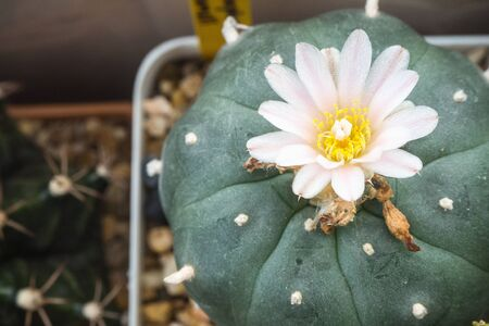 Blooming pink and white flower of Lophophora williamsii