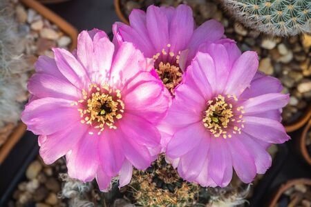 "Bloomimg pink cactus flower named ""Lobivia"" 스톡 콘텐츠"