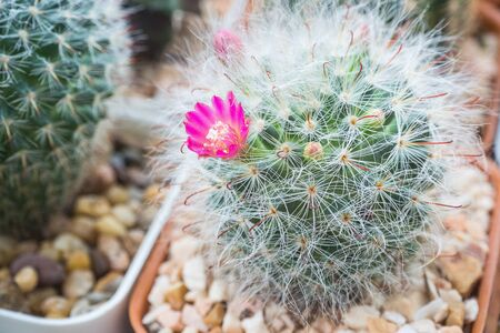 Blooming flower of mammillaria bocasana