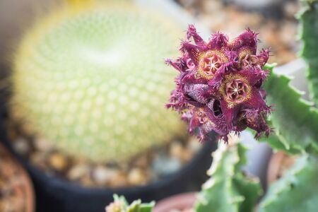 Caralluma hexagon cactus flower 스톡 콘텐츠